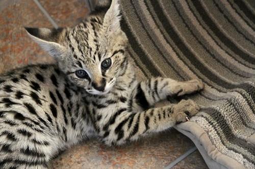 F1 Savannah cat FOCUS and cat scratcher/toy