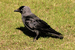The Jackdaw - Sussex. (Adam Swaine) Tags: county uk england black green bird beautiful grass rural canon sussex countryside village britain feathers villages 2010 counties naturelovers jackdaw thisphotorocks adamswaine wwwadamswainecouk