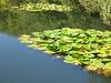 ninfea sul lago
