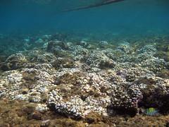 中度白化的軸孔珊瑚 (許嘉閔 攝)
