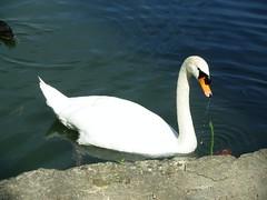 Chteau et Parc de Sceaux (dimitri salon) Tags: france castle swan europe iledefrance chteau parc oiseau cygne colbert sceaux parcdesceaux hautsdeseine andrlenotre jeanbaptistecolbert castleofsceaux