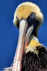 Juvenile Brown Pelican (Pelecanus occidentalis carolinensis) (dbullens) Tags: nature face birds closeup keys google florida beak pelican 1001nights fla brownpelican floridakeys tavernier wow1 wow2 wow3 wow4 supershot wow5 specanimal theunforgettablepictures thechallengefactory doublyniceshot doubleniceshot dblringexcellence tplringexcellence photographyforrecreation peregrino27life flickrstruereflection1