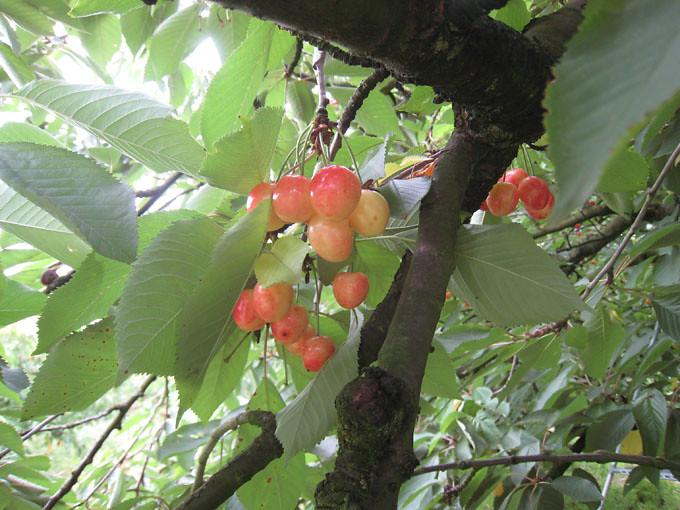 Cherry vang