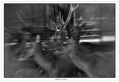 The Leader (Damon   Photography) Tags: life b wild portrait blackandwhite bw white black monochrome animal animals portraits zoo mono nikon wildlife w sigma chrome zebra leader pan kuwait mm panning lead q8 70300 d90 gazal sigma70300mm nikond90