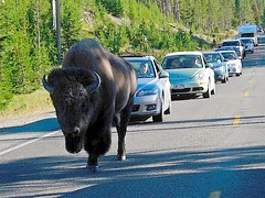 buffalo7