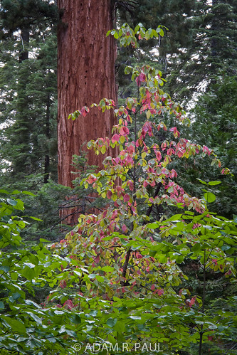 Dogwood & Sequoia