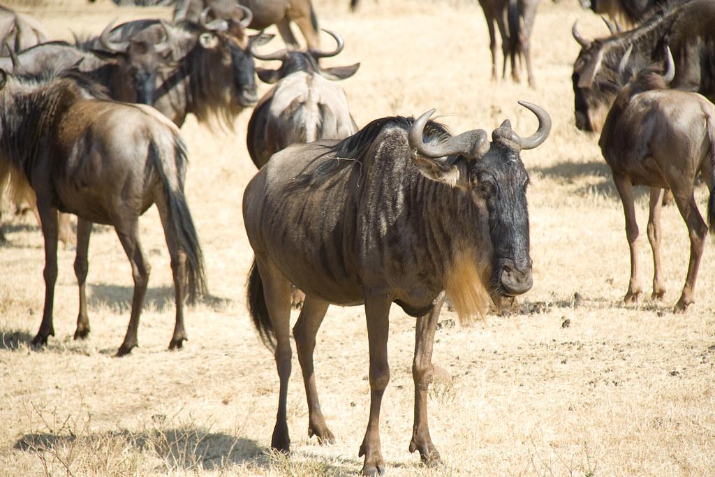 Western White-bearded Wildebeests - Ngorongoro Crater, Tanzania