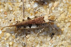 Gafanhoto // Grasshopper (Acrotylus insubricus subsp. insubricus) (Valter Jacinto | Portugal) Tags: insectos portugal nature animals fauna europe insects algarve orthoptera animalia grasshoppers arthropoda biodiversity naturephotography quintadolago gafanhotos insecta loulé acrididae almancil vclm3358 taxonomy:class=insecta geo:country=portugal taxonomy:kingdom=animalia prnpppriaformosa taxonomy:family=acrididae taxonomy:phylum=arthropoda taxonomy:order=orthoptera acrotylus sonyvclm3358 taxonomy:genus=acrotylus taxonomy:binomial=acrotylusinsubricus acrotylusinsubricus geo:region=europe turismodenatureza taxonomy:trinomial=acrotylusinsubricusinsubricus acrotylusinsubricusinsubricus