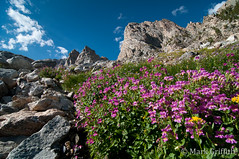 Flowers of the Tetons (Mark Griffith) Tags: outdoors climb nationalpark hiking hike climbing wyoming grandteton jacksonhole outing grandtetonnationalpark dsc8414 overnigher