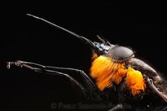 Bombyliidae (Sebastián Padrón) Tags: macro ecuador mosca padrón cuenca sebastián padron beefly azuay bombyliidae httpwwwsebastianpadroncom