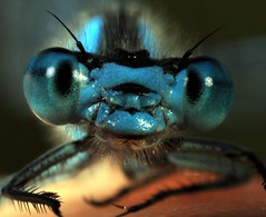 GLOWING BLUE...(EXPLORED) (Eddie The Bugman) Tags: macro closeup interesting eyes leicestershire finger explore extremecloseup damselfly odonata zygoptera commonbluedamselfly enallagmacyathigerum meltonmowbray extensiontubes raynoxdcr250 nikond90 sb900speedlight
