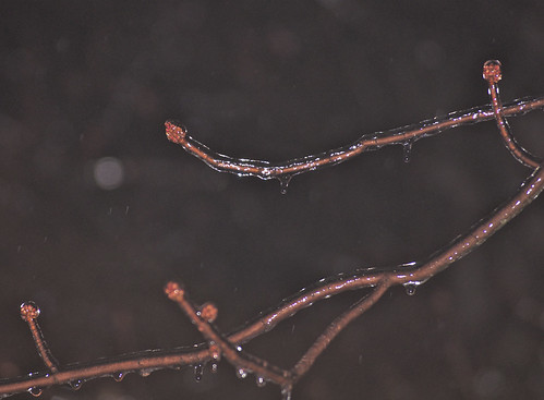 ice tree branch