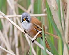 Wash and Brush Up (Andrew Haynes Wildlife Images) Tags: bird nature wildlife norfolk nwt beardedtit cleymarsh canon7d ajh2008