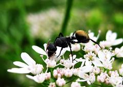 Ant (Kumaravel) Tags: flower macro closeup canon insect ant coriander kumaravel 95is canonixus95is canondigitalixus95is shensfarm mettukkundu