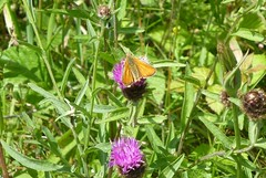 Small Skipper butterfly (Steeple Ducks) Tags: butterfly butterflies wiltshire upton scudamore a350 bank embankment verge road