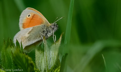 Small Heath Butterfly (steve.gombocz) Tags: nikon nikonusers nikond810 nikoneurope nikoncamera nikon500mmf40 nikonfx outdoor out outandabout insect nature wildlife naturewatch wildlifewatch wildlifereserve naturereserve wildlifephotos naturephotos wildlifephotographs naturephotographs wildlifephotography naturephotography wildlifepictures naturepictures summerwatch bbcsummerwatch tier flickrwildlife flickrnature flickrinsects wildbritain britishwildlife britishnature wildlifeuk natureuk yorkshirewildlife yorkshirenature bokeh butterfly smallheath naturewildlife uknature ukwildlife explorewildlife explorenature exploreflickr colour colours color colourmania flickraddict flickraddicts green orange greenleaf