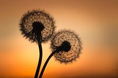 Zwei (SonjaS.) Tags: löwenzahn dandelion sonnenuntergang sunset gegenlicht sonjasayer abend orange