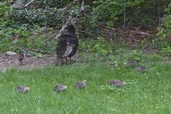 Never Too Far (brucetopher) Tags: wild turkey turkeys wildturkeys feasant family brood hen hens mother children chick chicks baby babies yard forest wilderness backyard bird birding birds fowl hunt gather foraging
