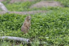 0232 Prairie hond (rudylinthorst) Tags: prairiehond 2017 minnesotazoousa