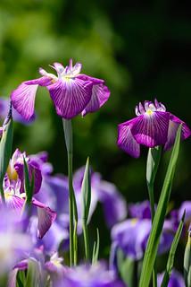 花菖蒲  - Iris  #5