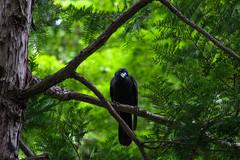 A42P0333lr (yoshitoshi ABe) Tags: 20170706 吉祥寺 井の頭公園 canon eos1dmarkiii ef70300mmf456isusm bird カラス