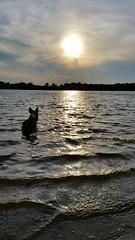Sir.Loki (Daniella Velings) Tags: sirloki loki welshcorgicardigan corgi sunset lake water beautiful mooi silence stilte photography fotografie siluete bluemerle mydog dog hond norsegod noorsegod marvel love