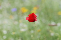 Less is More (Sue Armsby) Tags: smileonsaturday lessismore poppy red field meadow grass green bokeh dof