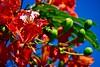 Royal Poinciana (bmasdeu) Tags: closeup red flowers nature royal poinciana flamboyan miami