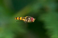 Marmalade Flly (Chalto!) Tags: newforest hampshire insect fly hoverfly flight flying hover hovering marmaladefly episyrphusbalteatus