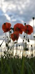 Red bunch (Lionel6114) Tags: fleurs coquelicots ciel rouge couleurs gros plan