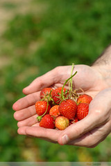 a strawberry in the hand is worth two in the bush