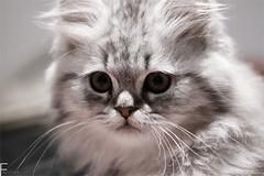 rozeee (Fayo0rah) Tags: macro cute eye animal cat canon looking drawing gray 100mm write 50d rozee