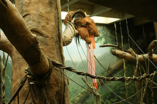 Orangutan with Box on Head