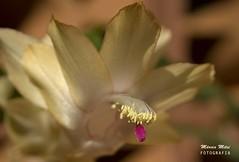 O inverno tambm  florido... (Mrcia_) Tags: flower nature cores soft natureza flor contraste beleza inverno suave flordemaio suavidade