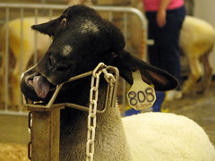 09 TN State Fair #123: Crazy Sheep