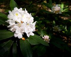Rhododendron maximum, Great Laurel, Monongahela National Forest, Pocohontas County, West Virginia (Brad Wilson, DVM) Tags: pink white plant flower westvirginia rhododendronmaximum greatlaurel monongahelanationalforest pocohontascounty