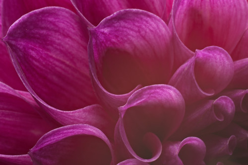 Dahlia Flutes Purple