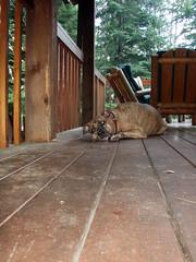 Gia in the UP (Barrybu) Tags: dog michigan upper porch peninsula presa canario