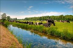 Koeien line-up (Peterbijkerk.eu Photography) Tags: netherlands 30 nikon warm cattle nh vee weiland koe koeien sloot d300 heiloo 30c nld heet hitte hittegolf warmte slootkant 30graden peterbijkerk compumesseu peterbijkerkeu