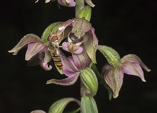 Mangeurs de pollen à orchidées 4753456213_40be2fc607