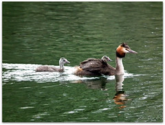 Going to meet dad! (macfudge1UK) Tags: uk summer england baby lake bird nature water fauna europe babies wildlife waterbird lakeside sos waterfowl oxfordshire grebe 2010 oxon greatcrestedgrebe podicepscristatus allrightsreserved hs10 countryfile citrit thenaturesgreenpeace lttf fujifilmfinepixhs10 fujihs10 rspblovenature bbcnatureuksummerwatch
