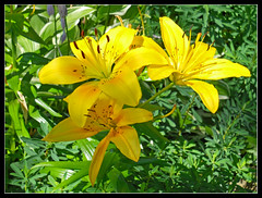 Day Lily cheer (sjb4photos) Tags: flowers daylilies fantasticnature