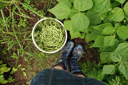 First beans of the season