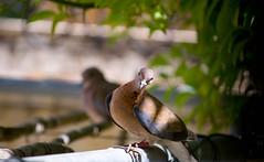 Hey you...Cameras are FORBIDDEN ! (Ahmad Saleh Photography) Tags: two bird love canon dove telephoto jealous 30d 55250