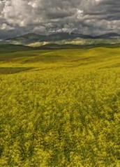 Canola Field - Rolling hills and scenery in the Palouse, Washington State (Images of Wildlife) Tags: flowers light green nature weather rural landscape washington spring shadows patterns wheat farming farmland pacificnorthwest fields americana farms crops agriculture pastoral washingtonstate rollinghills colfax palouse springplanting cultivated easternwashington palousewashington canolafields mustardfields