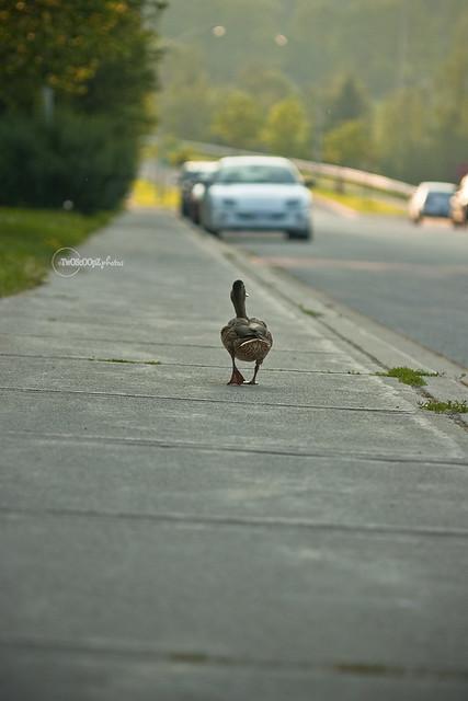 quack! day 187 (3)