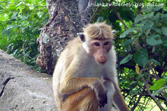 Toque Macaque Monkey