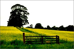 morning temptation (Fiona in Eden) Tags: field yellow landscape geotagged gate path farm harvest rape crop eden footpath oilseedrape wwwsleepycatgallerycom geo:lat=54795193 geo:lon=2779326