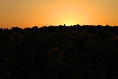 Sky in fire (SebastienToulouse) Tags: fleur champs seb goldenhour tournesol abeille insecte