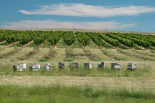 Bee + Apple Orchard #4412